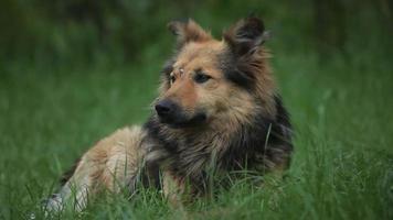 Portrait d'un chien colley avec une cicatrice sur son front