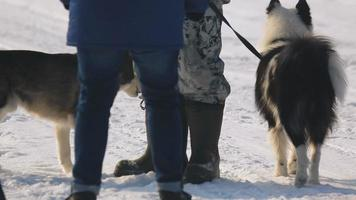 cães de trenó siberianos video