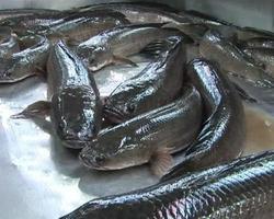pesce appena pescato