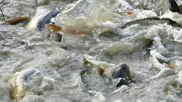 pesce d'acqua dolce di fattoria video