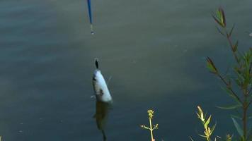 pesca puxando peixes