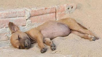 chiens endormis.