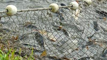 récolte du poisson dans une ferme piscicole