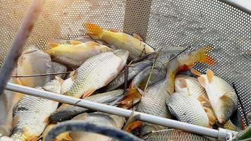 raccolta di pesce in allevamento ittico