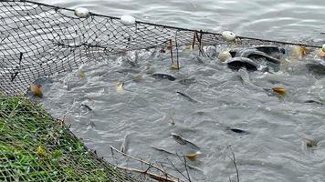 Fischernetz voller Fische