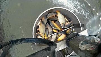 colheita de peixes em piscicultura
