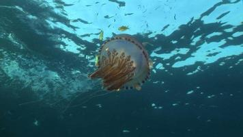 drifting  jelly fish and fish video