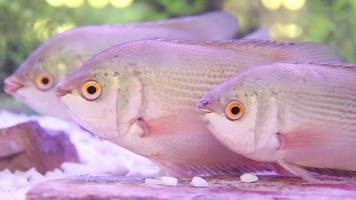 Embrasser du poisson-thailand eau poisson frais video