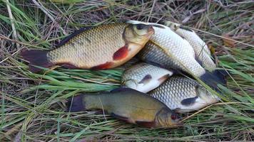 pesce pescato sdraiato sull'erba