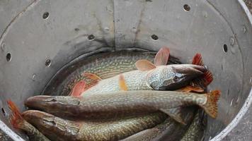 peixe de água doce, lúcio