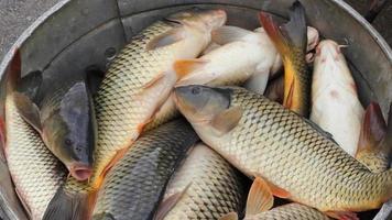 peixes de água doce, carpas