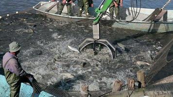 pesca commerciale d'acqua dolce video