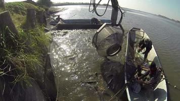 colheita de carpas de viveiro de peixes