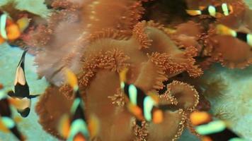 pesce anemone e pesce corona in fattoria