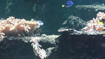 Peces nadando con coral en pecera video