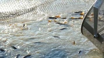 Süßwasserfische fangen