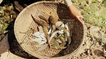Les pêcheurs trient les captures de poissons des plantes aquatiques dans un filet de pêche et les conservent dans un panier en bambou