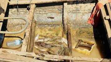 Fischer wirft seinen Fischfang in schlammigen Wassergriff auf den Boden eines hölzernen Einbaumkanus