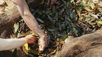 Primo piano sui pescatori che selezionano il pesce catturato dalle piante acquatiche in una rete da pesca