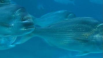 Schule der Schnapperfische schwimmen - Unterwasserschuss
