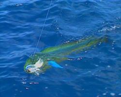 baja fishing dorado 03