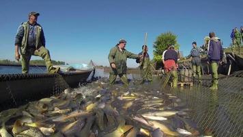 colheita de viveiro de peixes