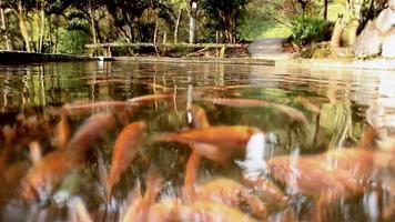 Tilapia unter Wasser