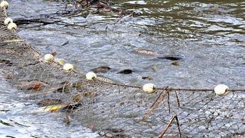 karper vissen in vijver