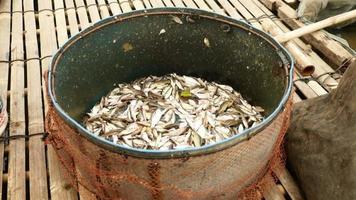 piccoli pesci appena pescati messi in una bacinella di metallo