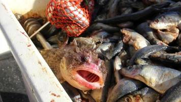 Blowfish windet sich auf Köderfischen herum, Maine