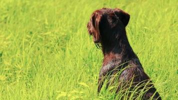 perro drathaar. de cerca. perro de caza