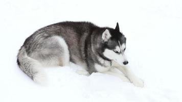 husky siberiano en la nieve video