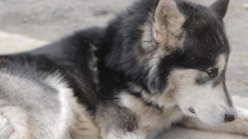 chien adulte malamute d'Alaska à bientôt