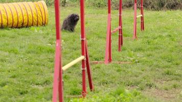 Haustiere laufen, Agility Race mit Hund über Hürden springen video