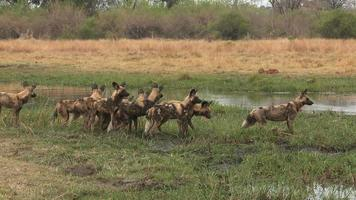 Pack of wild dogs looking to cross the Khwai river video