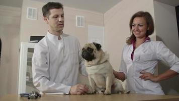 veterinario esaminando pug dog
