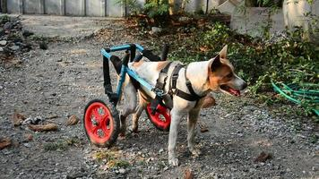 disabled dog in a wheelchair stand and run on ground