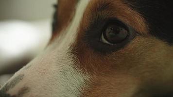 Triste perro jack russell terrier mirando a la cámara video