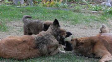 três cachorros (mãe, filho adulto e um cachorrinho) brincando no quintal na grama verde video