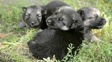 três cachorrinhos video