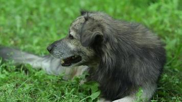 Porträt des glücklichen Hundes, der auf dem Gras liegt