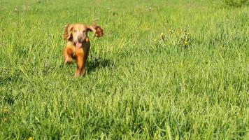corriendo cocker spaniel