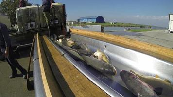 cernita del pesce