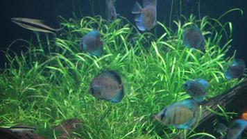aquarium discus bleu