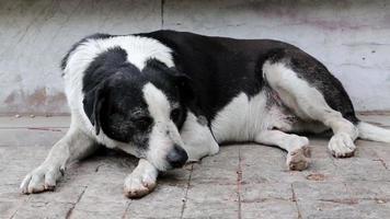 vecchio cane