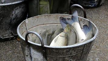 Caught fish in a bucket