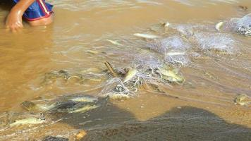 peixes capturados emaranhados em rede de pesca encharcando a margem do rio