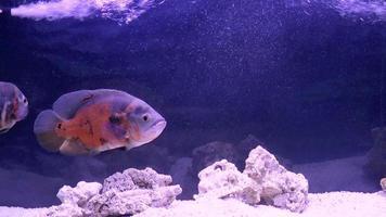 peixe, astronotus