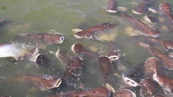 poisson pangasius