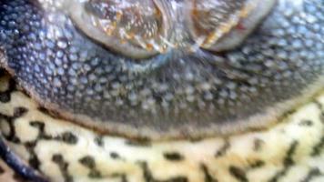 bocca di pesce
